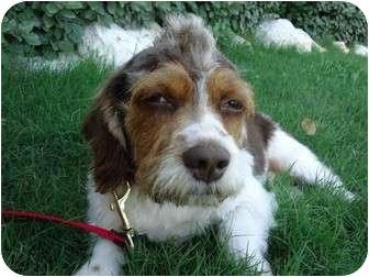 Petit Basset Griffon Vendeen/Cocker Spaniel Mix Dog for adoption in Arlington, Texas - Solo Vino