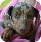 Dachshund Mix Puppy for adoption in Foster, Rhode Island - Ava