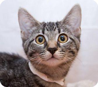 Domestic Shorthair Kitten for adoption in Irvine, California - Dahlia