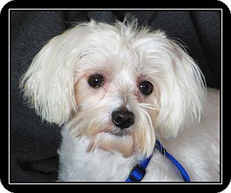 Maltese Mix Dog for adoption in Fort Braff, California - Jackson