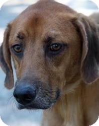 Retriever (Unknown Type)/Hound (Unknown Type) Mix Dog for adoption in Crawfordville, Florida - Zack