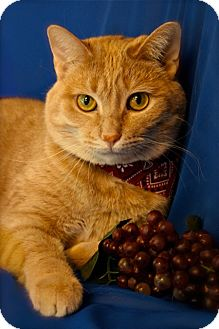 Domestic Shorthair Cat for adoption in Green Bay, Wisconsin - Freddy