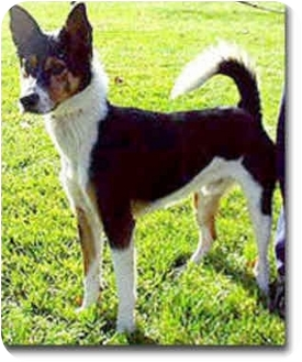Border Collie Mix Dog for adoption in Stephentown, New York - Gavin