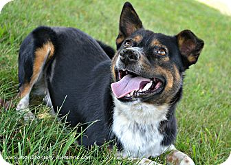 Corgi/Shepherd (Unknown Type) Mix Dog for adoption in Mt Sterling, Kentucky - Harper