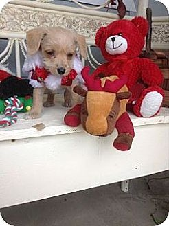 Bichon Frise/Terrier (Unknown Type, Small) Mix Puppy for adoption in Santee, California - Mary