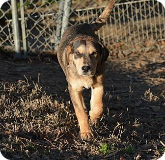 Catahoula Leopard Dog/Great Pyrenees Mix Puppy for adoption in Westfield, Massachusetts - Max