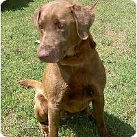 Adopt A Pet :: Maverick - Cumming, GA