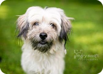 Shih Tzu/Miniature Poodle Mix Dog for adoption in Reisterstown, Maryland - Spike
