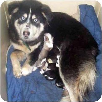 Siberian Husky Mix Dog for adoption in Various Locations, Indiana - Sheba