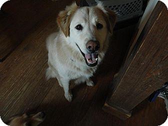 Golden Retriever Mix Dog for adoption in Allentown, Pennsylvania - Ziggy
