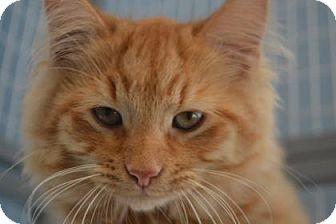 Domestic Longhair Kitten for adoption in Edwardsville, Illinois - Mace