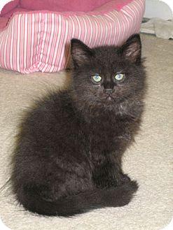 Domestic Longhair Kitten for adoption in Parkville, Missouri - Puffy