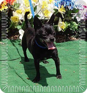 Chihuahua Mix Dog for adoption in Marietta, Georgia - SHAMU - reclaimed