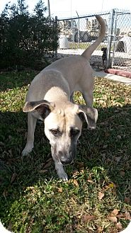Black Mouth Cur Mix Dog for adoption in Atmore, Alabama - Angel