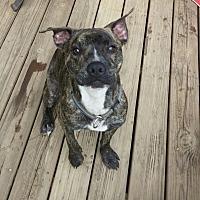 Adopt A Pet :: Zeb - Asheboro, NC