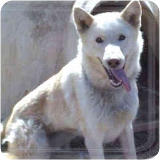 German Shepherd Dog/Husky Mix Dog for adoption in Various Locations, Indiana - Buffy