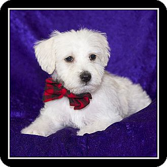Maltese/Terrier (Unknown Type, Small) Mix Puppy for adoption in San Diego, California - Marlin