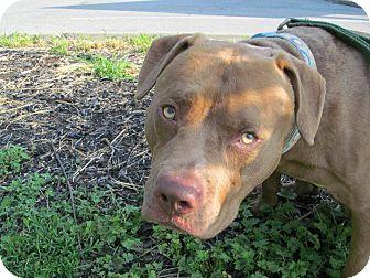 Pit Bull Terrier Mix Dog for adoption in Poughkeepsie, New York - Simba