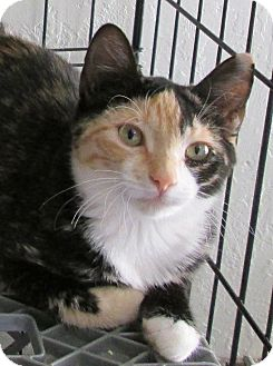 Calico Cat for adoption in Buhl, Idaho - Echo