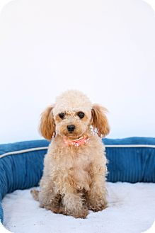 Poodle (Miniature)/Maltese Mix Dog for adoption in Auburn, California - Penelope
