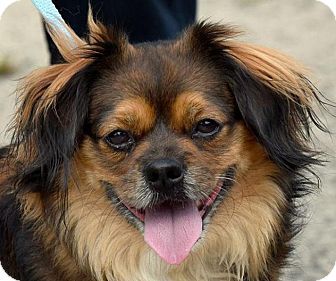 Tibetan Spaniel Mix Dog for adoption in New Haven, Connecticut - MEATBALL