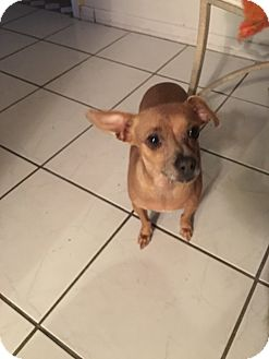 Chihuahua Mix Dog for adoption in Las Vegas, Nevada - Smiles