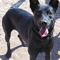Miniature Pinscher/Flat-Coated Retriever Mix Dog for adoption in Las Cruces, New Mexico - Cloe