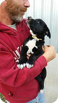 Labrador Retriever/Shepherd (Unknown Type) Mix Puppy for adoption in Olympia, Washington - Roman