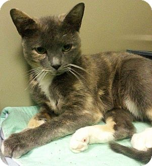 Domestic Shorthair Cat for adoption in Cedartown, Georgia - 33838469