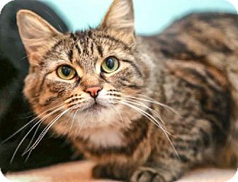 Domestic Mediumhair Cat for adoption in Kingston, Ontario - Izzy