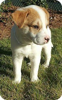 Husky/Labrador Retriever Mix Puppy for adoption in Southbury, Connecticut - Brady