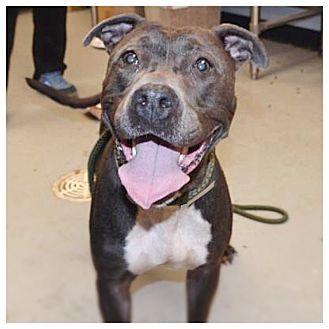 American Staffordshire Terrier/American Bulldog Mix Dog for adoption in Yonkers, New York - Lilac