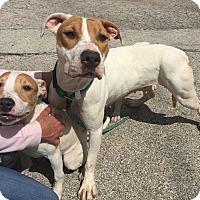 Adopt A Pet :: Mama - Wheaton, IL