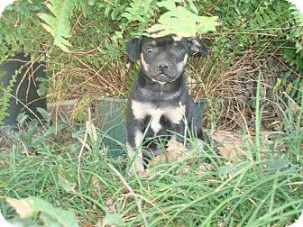 Chihuahua/Pug Mix Puppy for adoption in Pipe Creed, Texas - Rolo