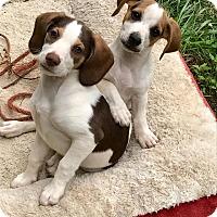 Adopt A Pet :: Ivy and Tulip - Harrisonburg, VA