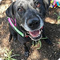 Adopt A Pet :: Koko - Purcellville, VA