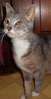 Domestic Shorthair Cat for adoption in Chattanooga, Tennessee - Mercedes(lap cat)