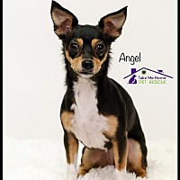 Adopt A Pet :: Angel - Richardson, TX