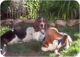 Basset Hound Puppy for adoption in Vail, Iowa - CHARLIE~~CL~~