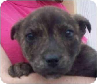 Labrador Retriever Mix Puppy for adoption in Chapel Hill, North Carolina - Gypsy
