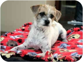 Terrier (Unknown Type, Small) Mix Puppy for adoption in La Costa, California - Trooper
