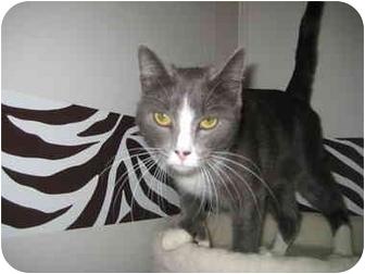Polydactyl/Hemingway Cat for adoption in Rock Springs, Wyoming - Bella