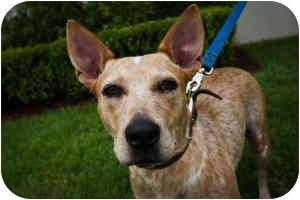 Australian Cattle Dog/Australian Cattle Dog Mix Dog for adoption in Houston, Texas - Sweet Pea
