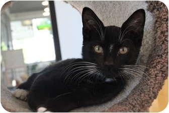 Domestic Shorthair Kitten for adoption in Portland, Oregon - Bobby