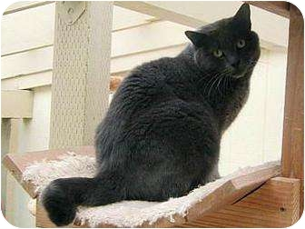 Domestic Shorthair Cat for adoption in Florence, Oregon - Ziggy