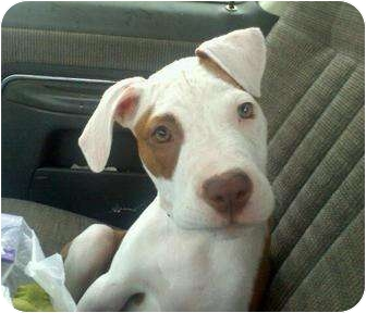 American Pit Bull Terrier Puppy for adoption in Rougemont, North Carolina - Diva