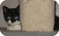 Domestic Shorthair Kitten for adoption in Tampa, Florida - Rush
