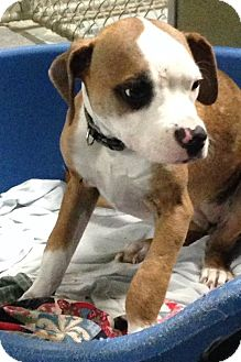 Boxer/American Staffordshire Terrier Mix Puppy for adoption in MARION, Virginia - Holly