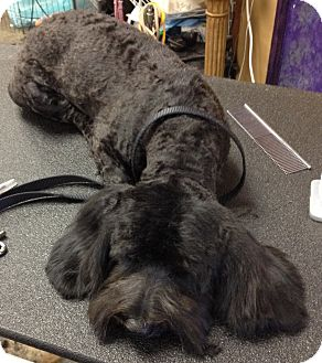 Cockapoo Mix Dog for adoption in Encino, California - Bubba