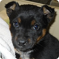 Adopt A Pet :: Zack - dewey, AZ